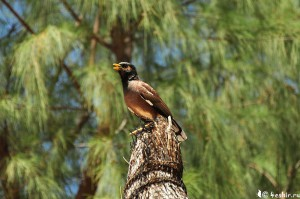 Майна, птица Маврикия