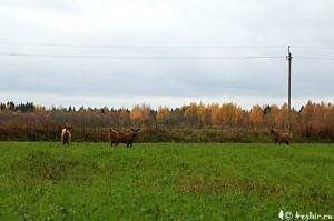 Козы в поле