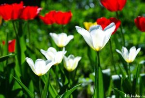 Тюльпаны в контровом свете