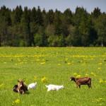 Пасутся козы