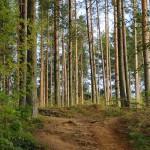 Лес сосен
