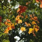 Красные кленовые листья