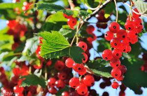 Плоды лета - красная смородина