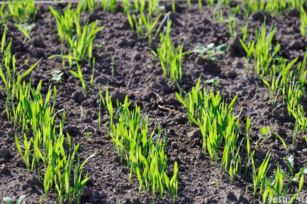 Посадка для улучшения почвы рожь