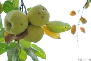 Поздние яблочки