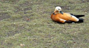Застенчивая утка