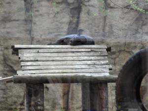 Пантера спит
