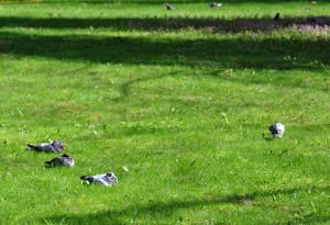Спящие голуби