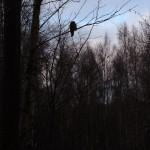 Тёмная сова