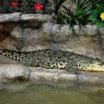 Романтичный крокодил