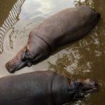 Бегемоты в болоте