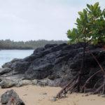 Мангровое дерево в отлив