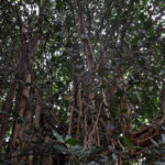 Заросли дерева баньян