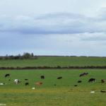 Коровы на полях Шотландии