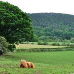 Мохнатые морозостойкие коровы Англии