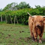 Мохнатая рогатая корова