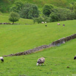 Овцы на пастбищах Англии