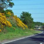 Дрок вдоль дороги