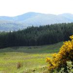 Дрок в Шотландии