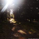 Сосновый лес, Куршская коса