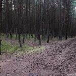Сосновый лес на Куршской косе