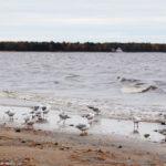 Чайки на берегу Финского залива