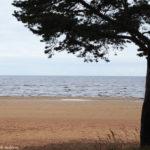 Сосна и берег залива