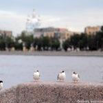 Чайки на набережной Петербурга